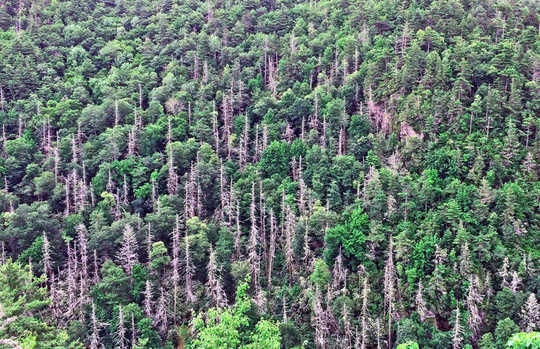 इनवेसिव कीट कार्बन स्टोरेज में आने वाले पेड़ों को मार देते हैं