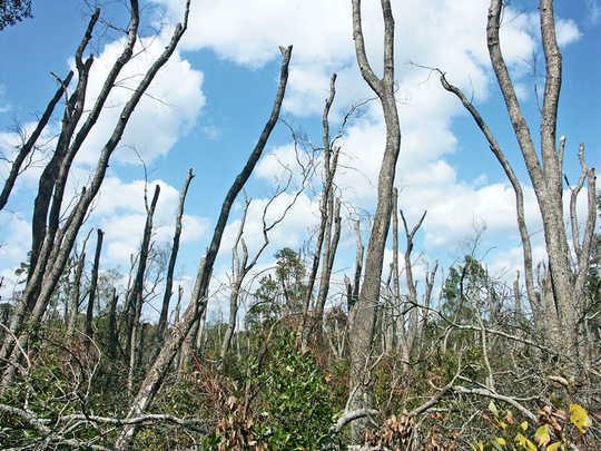 入侵害虫杀死足够的树木以阻碍碳储存