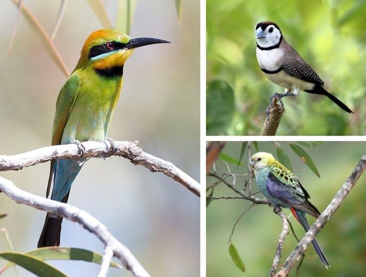 Miksi useimmat alkuperäiset lintulajit menettävät kotejaan