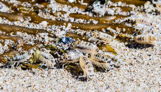 The image shows tiny beach hoppers feasting on kelp wrack.