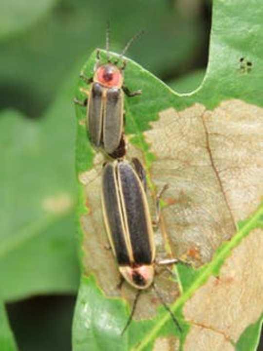Bagaimana Fireflies Bersinar - Dan Sinyal Apa yang Mereka Kirim