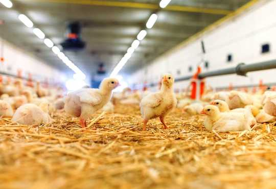 寻找鸡的幸福迹象可以帮助我们了解他们的生活在被囚禁