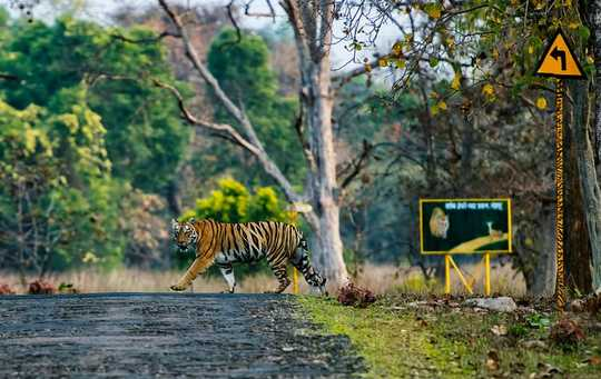 Tragic Tale Of A Man Eating Tigress Tells Us So Much About The Climate Crisis