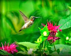 Djurperspektiv på Corona-viruset: Kolibrier