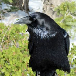 Perspective animale asupra virusului Corona: corbi