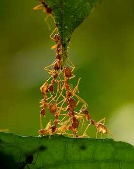 Semut bekerja sama.