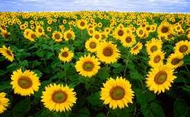 Girassóis de rápido crescimento completam suas vidas no verão.