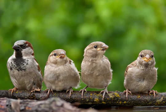 House sparrows – more common in British gardens 50 years ago.