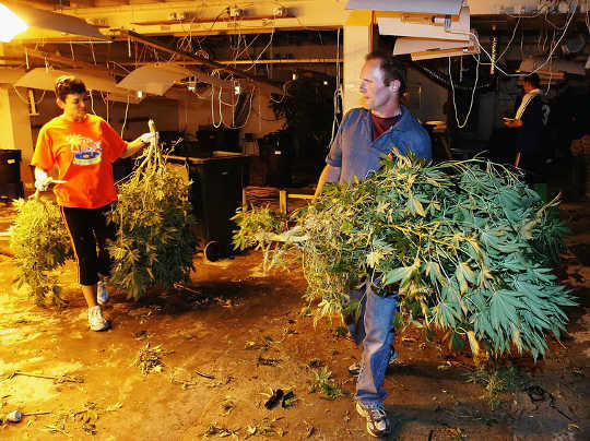 Boom and bust: police remove some of the 1,000 cannabis plants discovered in an Auckland warehouse in 2005.
