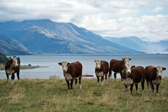 A pecuária é uma fonte de emissão de metano para a atmosfera.