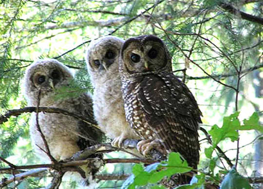 Northern spotted owls live in large mature forests in the Pacific Northwest. They are listed as threatened as a result of habitat loss, caused partly by logging. (how climate change and forest management have both fueled today s epic western wildfires)
