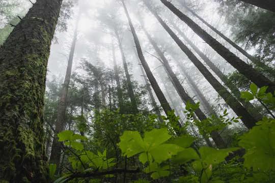 Nye trær absorberer mye karbon, gamle trær lagrer mer samlet og døde trær kaster karbon til atmosfæren. (er unge trær eller gamle skoger viktigere for å bremse klimaendringene)