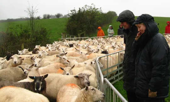 I partecipanti Grow si impegnano con l'allevamento di pecore.