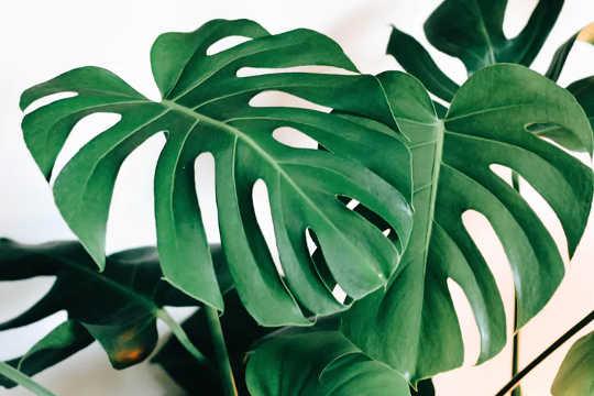 Monstera (atau tanaman keju Switzerland) sangat popular. (tanaman rumah adalah penghubung kita dengan alam dalam keadaan terkunci sekarang mereka dapat mengubah cara kita berhubungan dengan dunia semula jadi)