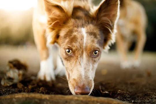 La nariz de un perro domina su rostro por una buena razón. (la nariz de tu perro no conoce límites y tampoco su amor por ti)