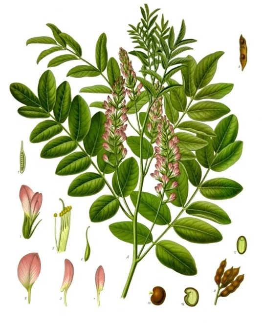 甘草是欧亚大陆和北非的原生物种,大多数糖果甘草都来自该物种。