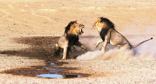 ライオンのプライドは、他のプライドと対立するまで、人口を増やします。