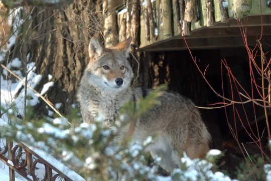 Как койоты и люди могут научиться сосуществовать в городах