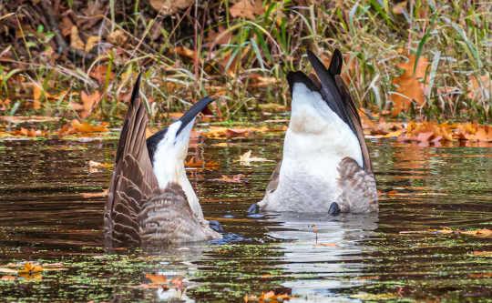 鹅通过吃一些水下食物来增肥。 (鹅如何知道冬天如何向南飞行)