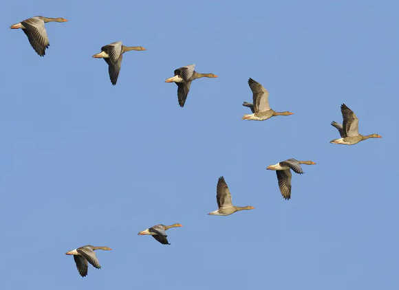 这些灰雁的不同翅膀位置显示出它们的拍打动作,其中V尖处的个体工作最困难。