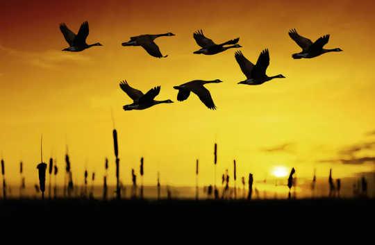 چگونه غازها می دانند چگونه برای زمستان به جنوب پرواز کنند