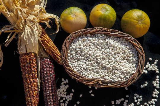 """""""شقيقات الذرة والفاصوليا والاسكواش الثلاث يغذي الناس والأرض والثقافات"""