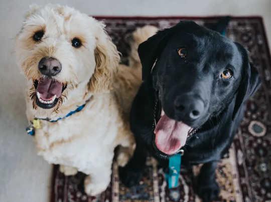 Het is moeilijk om nee te zeggen tegen honden, maar als het om chocolade gaat, moeten we wel. (waarom honden geen chocolade kunnen eten)