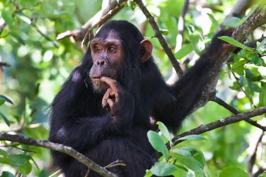 침팬지는 나뭇 가지에 앉아서 손가락을 물고 거리를 들여다 본다.