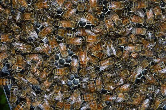 Honungsbin förblir friska i sådana nära kvarter