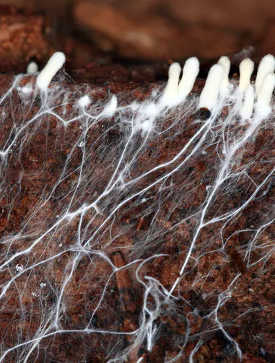 Mycelium is the vegetative body for fungi that produces mushrooms. (vegan leather made from mushrooms could mold the future of sustainable fashion)