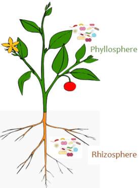 Sebilangan mikroba dikaitkan dengan daun dan pucuk, sementara satu set lain hidup di antara akar.