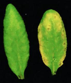Daun dari tanaman Arabidopsis yang sihat (kiri) dan daun dari tumbuhan mutan dysbiosis (kanan). (apabila tumbuh-tumbuhan dan mikroba mereka tidak selari hasilnya boleh menjadi bencana)