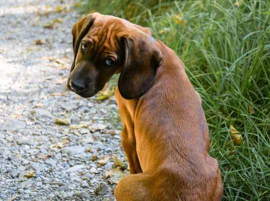 Bagaimana Anjing Muda Mungkin Lebih Mirip Dengan Remaja Manusia Daripada Yang Kami Pikirkan