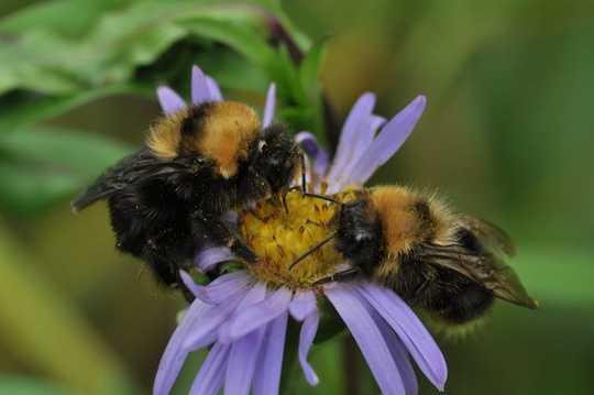 Kevään ensimmäiset päivät - kirkkaampia ja lämpimämpiä - ovat biologinen laukaiseva, että naispuoliset mehiläiset heräävät lepotilasta ja alkavat rakentaa tulevia siirtomaita.