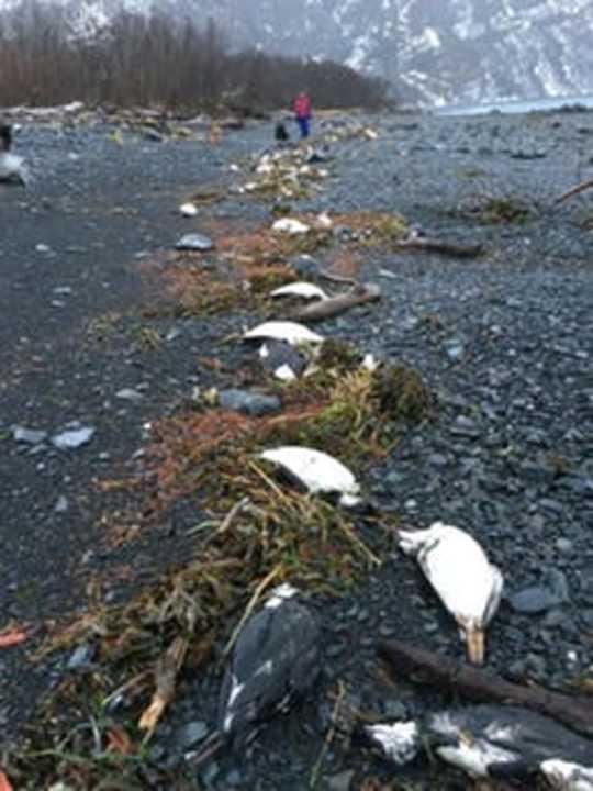 Värsta marina värmebölja på rekord dödade en miljon sjöfåglar i norra Stilla havet
