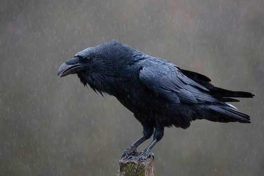Làm thế nào các loài chim được sử dụng để tiết lộ tương lai