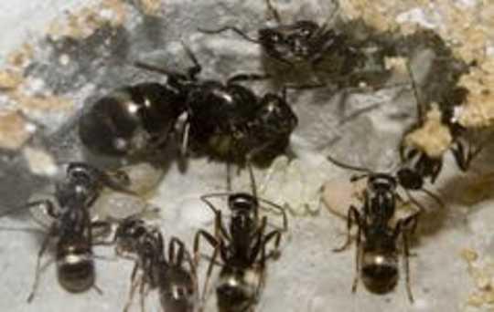 Social Distancing Works - Basta perguntar lagostas, formigas e morcegos vampiros