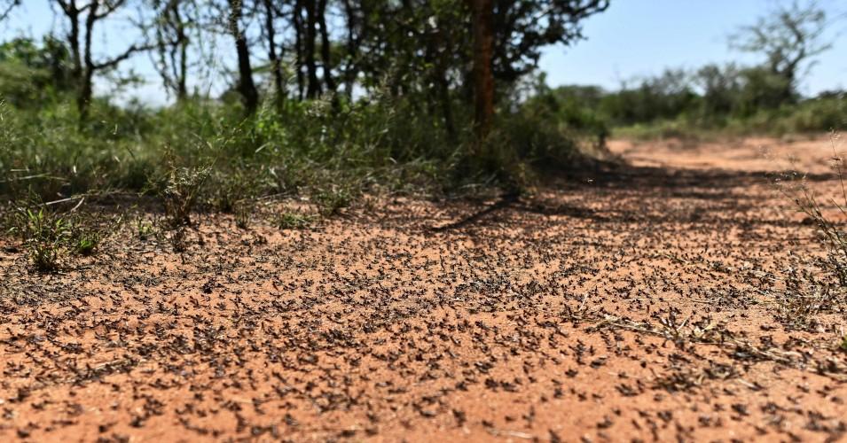 """Minaccia senza precedenti """"per l'Africa orientale mentre la seconda ondata di crisi della locusta arriva in mezzo alla pandemia"""