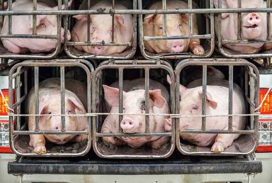 在中國發現的具有大流行潛力的新型H1N1豬流感的構成
