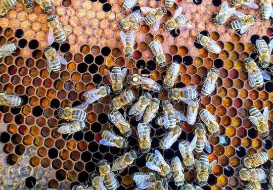 İlkbaharın ilk günleri - daha parlak ve daha sıcak - dişi arıların kış uykusundan uyanmaları ve gelecekteki kolonileri kurmaya başlamaları için biyolojik bir tetikleyicidir.