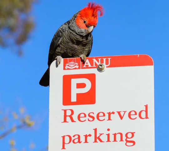幫會垂懸在路牌的幫會美冠鸚鵡在堪培拉。 (觀鳥對森林大火的恢復有很大幫助)