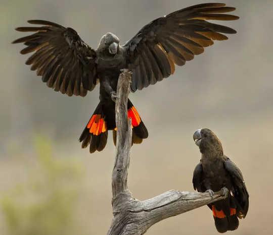 去年夏天,袋鼠島光滑的黑鸚鵡的大部分棲息地都被燒毀了。