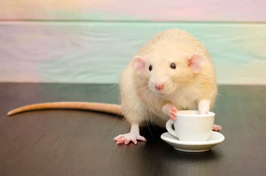 Several studies have shown that coffee consumption reduces the rates of some diseases in rats and mice.