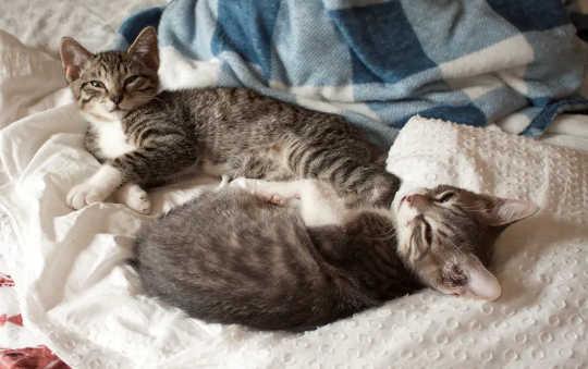 パンデミックの間、子猫はますます人気が高まっています。