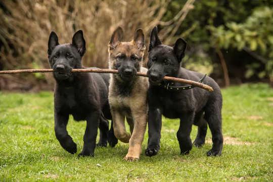 子犬は生後わずか数週間で社交的になる必要があります。 (あなたの新しい子犬の世話をするためのXNUMXつのヒント)