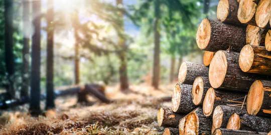 Một khu rừng thông đầy nắng với những khúc gỗ ở phía trước.