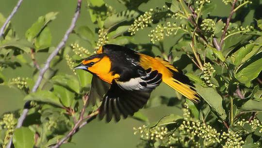 Warum einige Singvögel wandernde Boxenstopps machen, um abgenutzte und zerlumpte Federn zu ersetzen