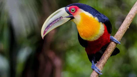Toekans gebruiken hun grote snavels om zaden te verspreiden over het Atlantische woud van Brazilië.