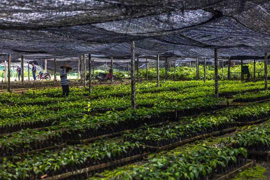 Zaailingen van regenwoudbomen worden in een kwekerij gekweekt voordat ze in het herstelde bos worden geplant.