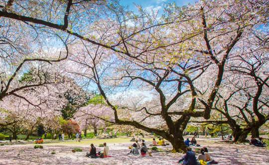 Вечеринки по случаю цветения сакуры в Японии - История погони за мимолетной красотой сакуры